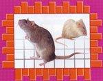 Крысы: кто они?