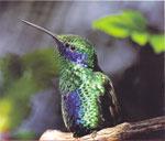 Колибри: полет хвостом вперед