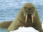 Клык моржовый