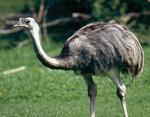 Нанду - самая древняя птица