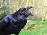 Вороны и соловей