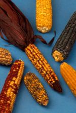 Кукуруза - дар инопланетян?